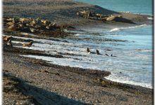 Reserva Provincial de lobos marinos en Caleta Olivia lobosmarinos44 220x150